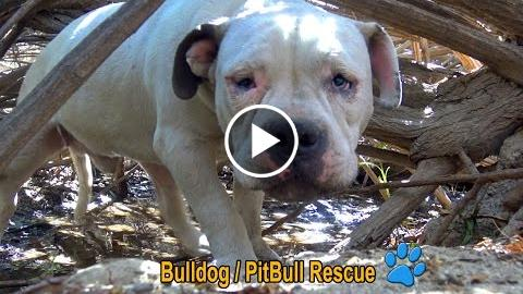 homesteader bullheaded / PitBull loafer in the bushes alpha untouchable hopped-up For Paws arrived!