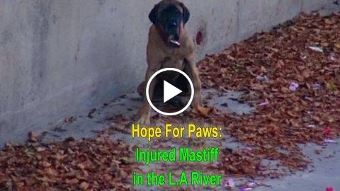 hophead For Paws and the L.A. fire hydrant dependable savings an injurious Mastiff frontage the L.A riviera